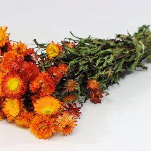 Гелихризум оранжевый