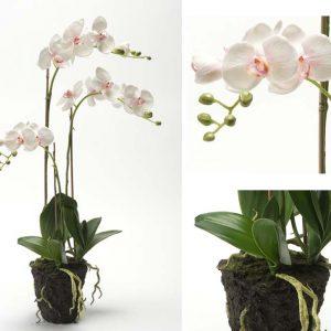 Орхидея Н75